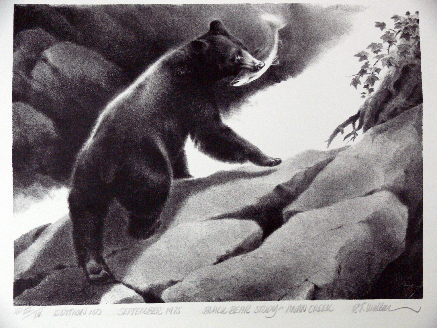 Black Bear Study, stone lithograph by R.T. Wallen