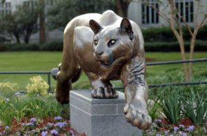 Female cougar at the University of Houston