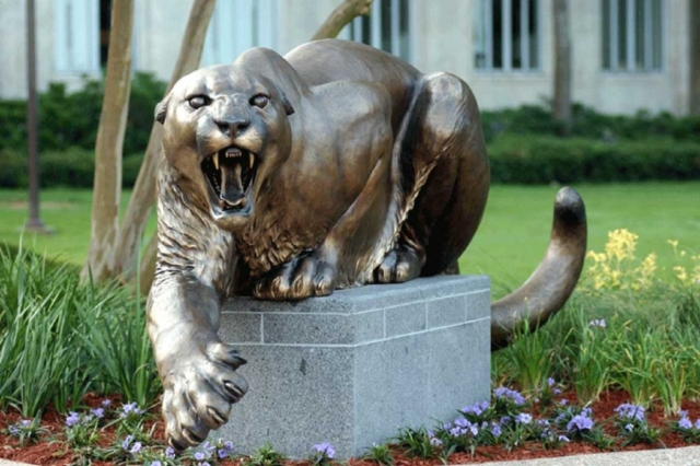 Male cougar at the University of Houston